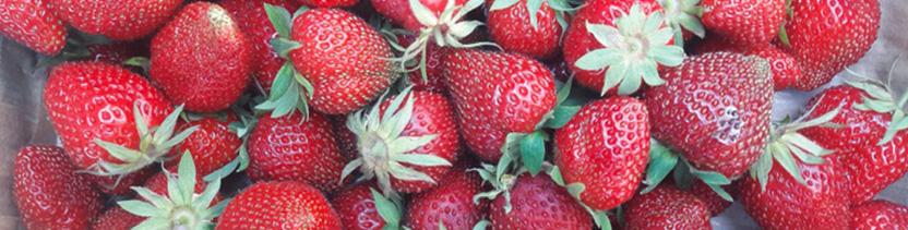 Découvrez et mangez : nos différentes variétés de fraises